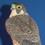 woodenbird