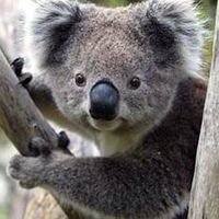 koalalover3